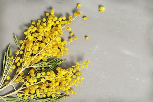 Branches d'un mimosa fleuri close-up sur fond de béton gris avec espace de copie. Photo Premium