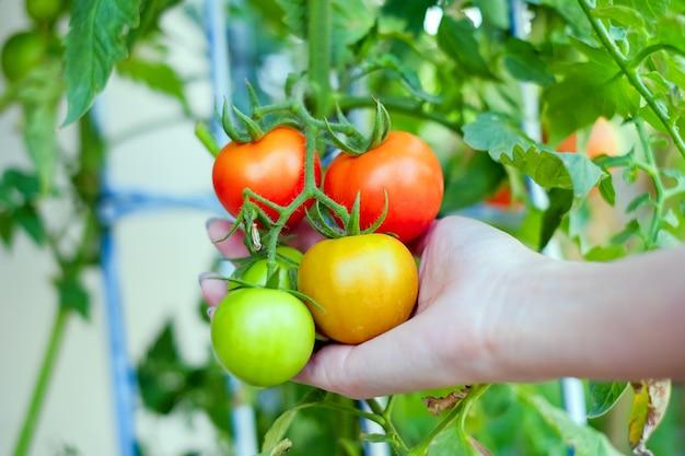 Bras de femmes asiatiques tenant une branche de tomates jaunes et vertes rouges Photo Premium