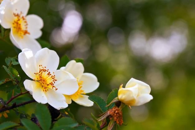 Brier fleurs avec espace copie Photo gratuit