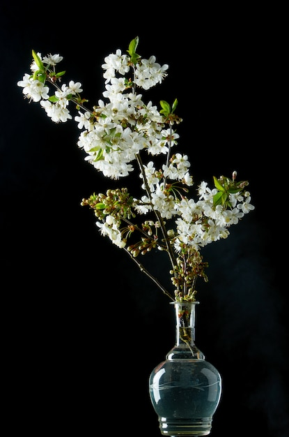 Brin de fleurs de cerisier blanches en fleurs sur fond noir Photo Premium