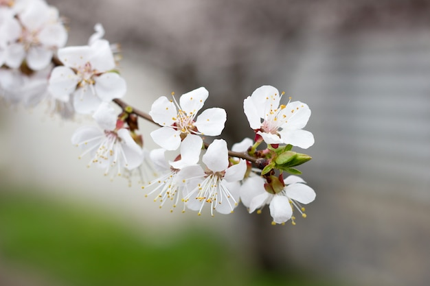 Brins d'arbre en fleurs au printemps. abricots en fleurs, sakura. Photo Premium