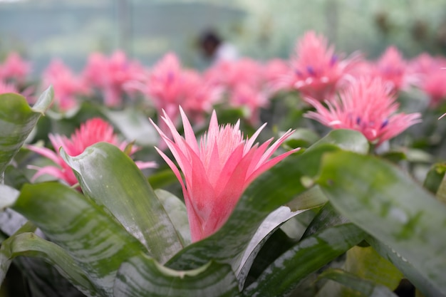 Broméliacées (bromeliaceae) plante fleur tropicale Photo Premium