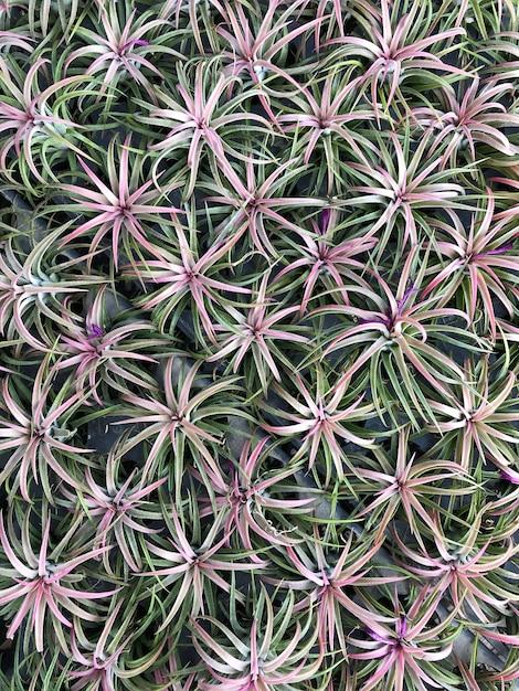 Broméliacées dans le jardin Photo Premium