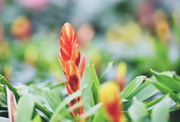 Bromeliad flower decorate - magnifiques plantes de pépinières de jardin de broméliacées rouges et jaunes Photo Premium