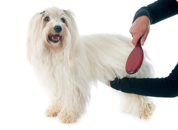 Brossage coton de tulear Photo Premium