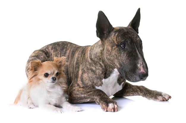 Brown terrier et chihuahua Photo Premium