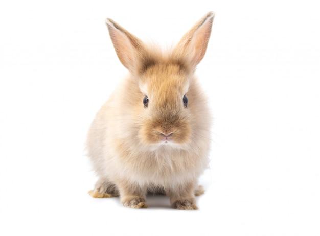 Brun adorable bébé lapin sur fond blanc. Photo Premium