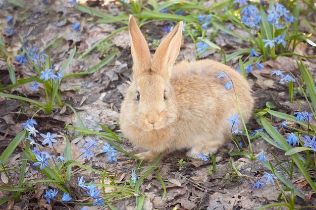 Brun lapin moelleux dans un pré de fleurs bleues. un petit lapin décoratif va sur l'herbe verte à l'extérieur Photo Premium