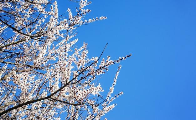 Brunchs de fleurs de cerisier blanches. ciel bleu Photo Premium