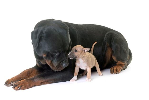 Bull terrier miniature et rottweiler Photo Premium