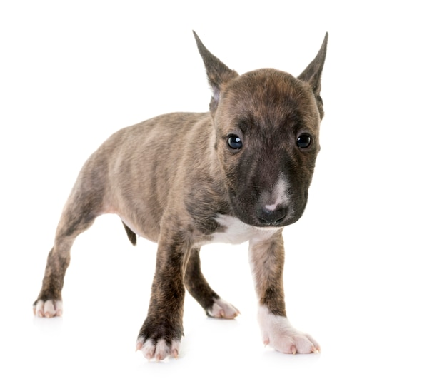 Bull terrier miniature Photo Premium