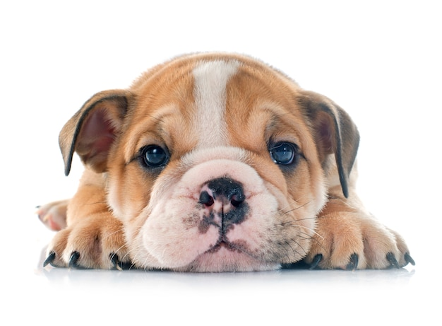 Bulldog Anglais De Chiot Photo Premium