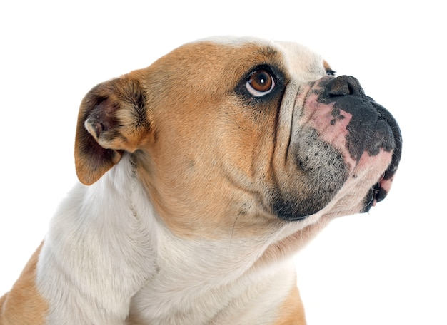 Bulldog anglais Photo Premium