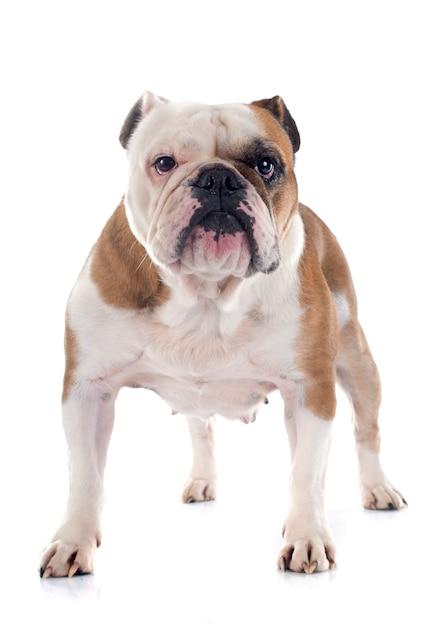 Bulldog anglais Photo Premium