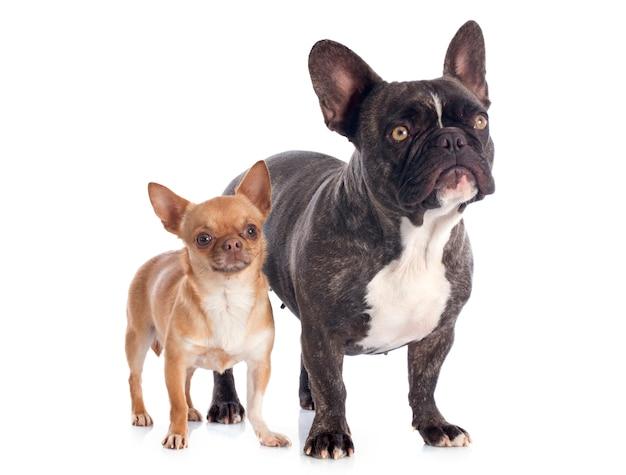 Bulldog français et chihuahua Photo Premium