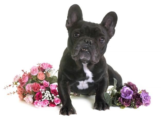 Bulldog Français Photo Premium
