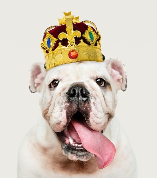 Bulldog portant une couronne Photo gratuit
