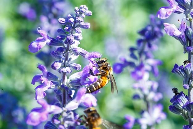 Bumble honey bee bourdonnant de fleur de lavande Photo Premium