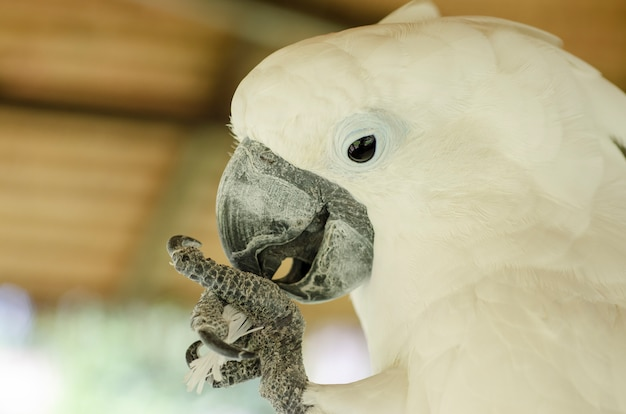Cacatoès blanc fond flou Photo Premium
