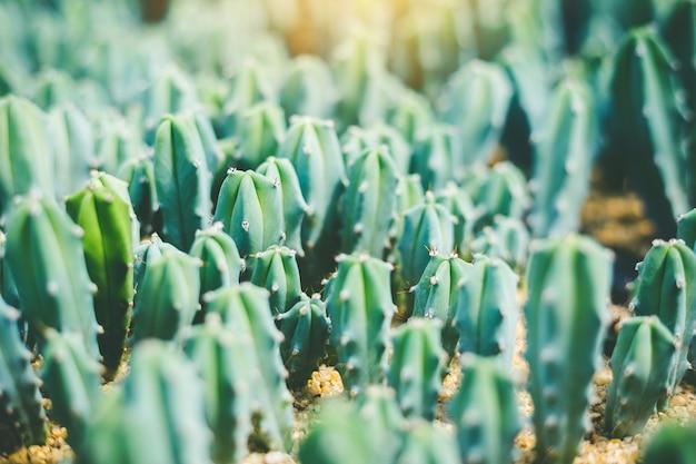 Cactus vert flou bouchent cactus oreilles de lapin ou opuntia microdasys flou fond Photo Premium