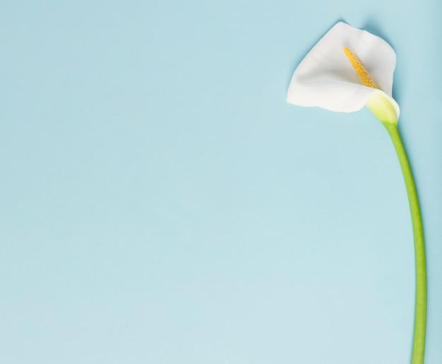 Cadre de belle calla lily avec fond bleu espace copie Photo gratuit