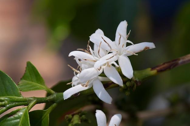 Caféier entièrement fleuri Photo Premium