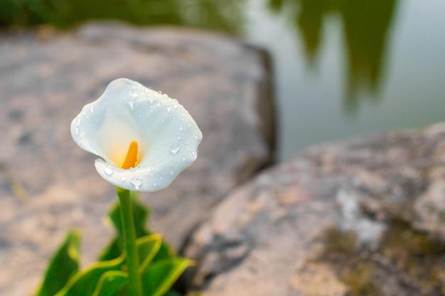Callas avec des feuilles au jardin Photo Premium