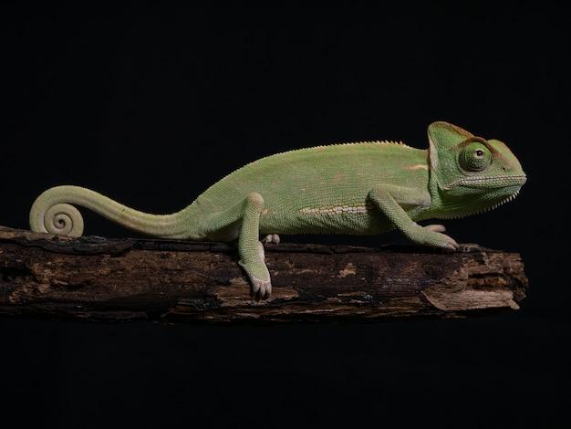Caméléon vert sur bois, gros plan animal. Photo Premium