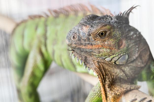 Caméléon vert dans la cage Photo Premium
