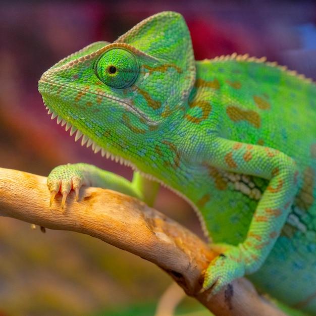 Caméléon vert. grand portrait. Photo Premium