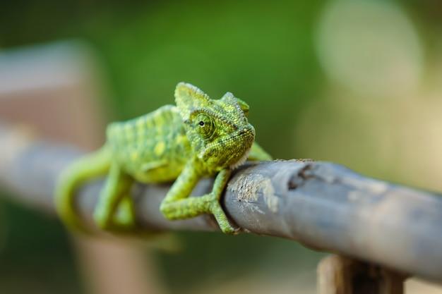 Caméléon vert inde Photo Premium