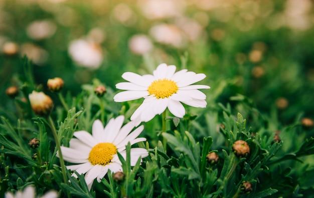 Camomille blanche, fleurs, printemps, jardin Photo gratuit