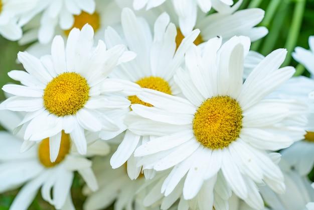 La camomille blanche pousse dans le jardin en été. fermer Photo Premium