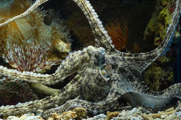 Un Camouflage De Calmar Derrière Le Corail Photo Premium