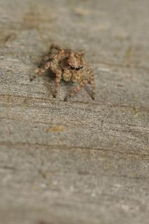 Camouflée saut d'araignée Photo gratuit