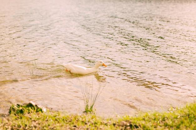 Canard Blanc Nageant Dans La Rivière Par Une Journée Ensoleillée Photo gratuit