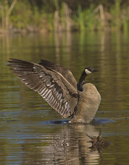 Canard Colvert Aux Ailes Ouvertes Sur L'eau Photo gratuit