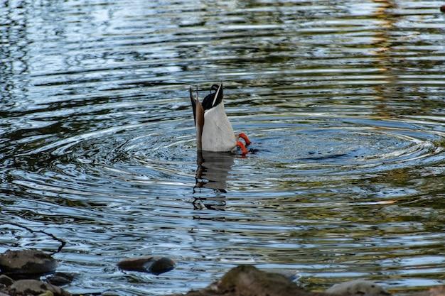 Canard Colvert Mignon Nageant Dans Un Lac Pendant La Journée Photo gratuit
