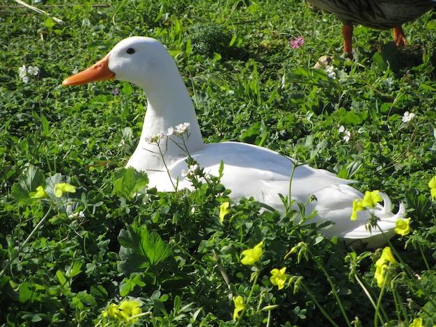 Canard Domestique Blanc Dans Un Jardin Pendant La Journée Photo gratuit