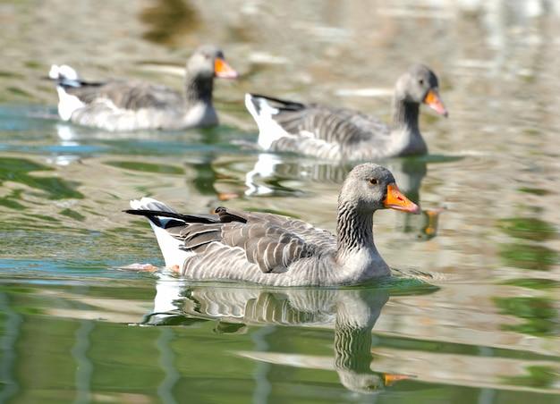 Canard Sur Le Lac Photo Premium