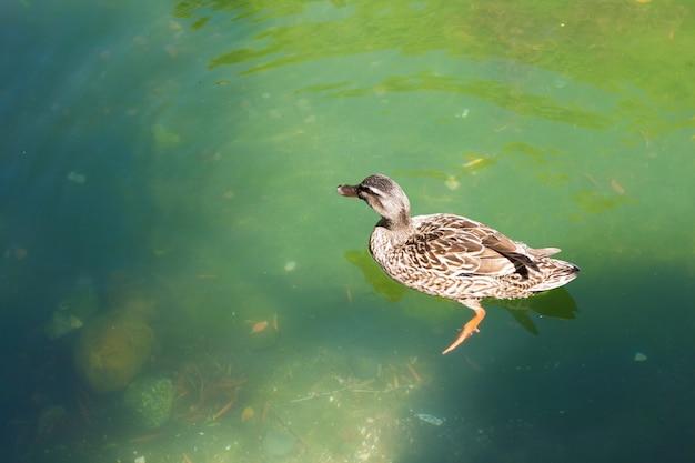 Le Canard Nage Dans L'étang Vert Photo gratuit