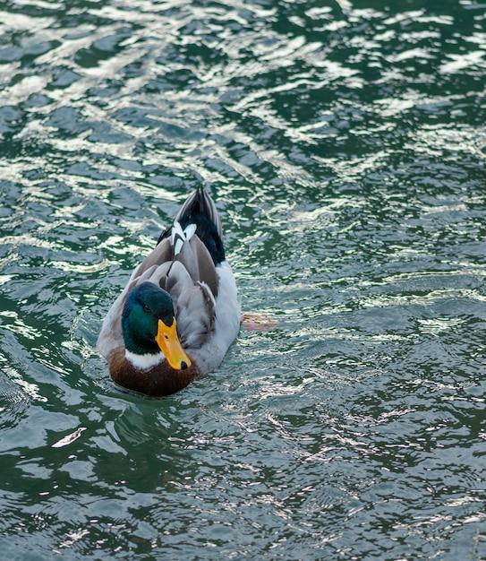 Canard Sauvage Flottant Sur L'eau Photo gratuit