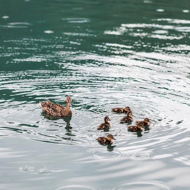 Canards Avec Des Canetons Flottant Sur L'eau Photo Premium