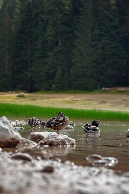 Canards. paysage naturel. lac de montagne, monténégro, parc national de durmitor Photo Premium