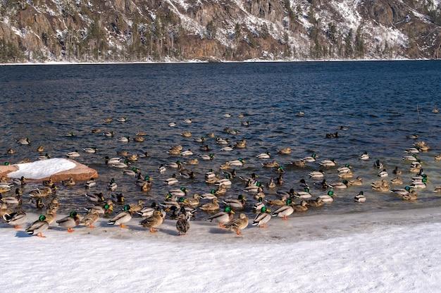 Canards En Rivière D'hiver. Une Vue Sur Les Montagnes Couvertes De Neige. Rivière Et Chaîne De Montagnes Photo Premium