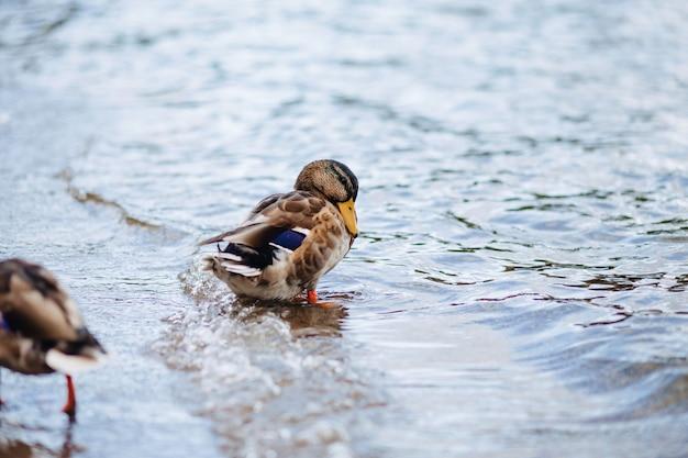 Canards sauvages près de l'eau Photo Premium