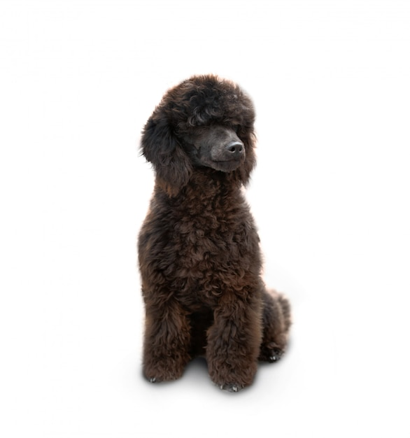 Caniche chien assis Photo Premium