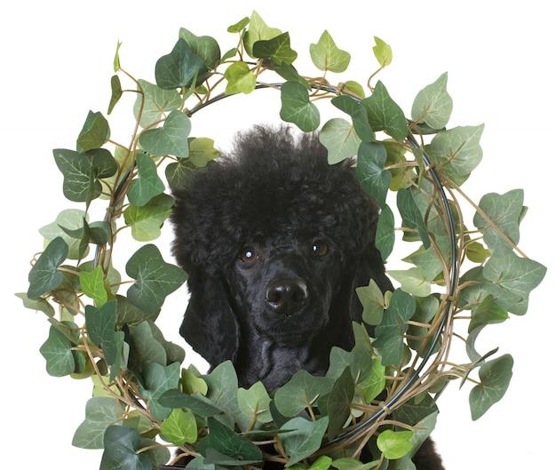 Caniche nain noir Photo Premium