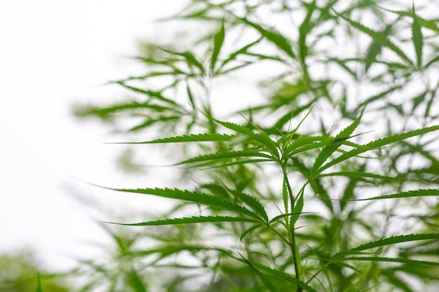 Cannabis. Photo gratuit