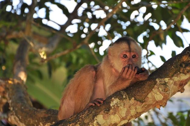 Cappuchine monkey Photo Premium